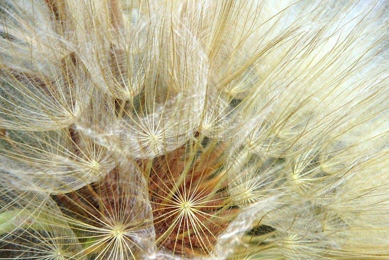 Cabeza de la semilla del salsifí amarillo foto de archivo