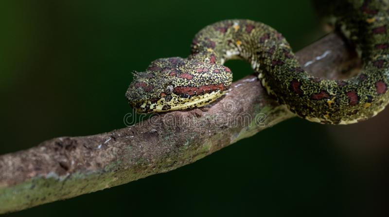 Cabeza de la serpiente de la víbora de la pestaña en una rama de árbol fotografía de archivo