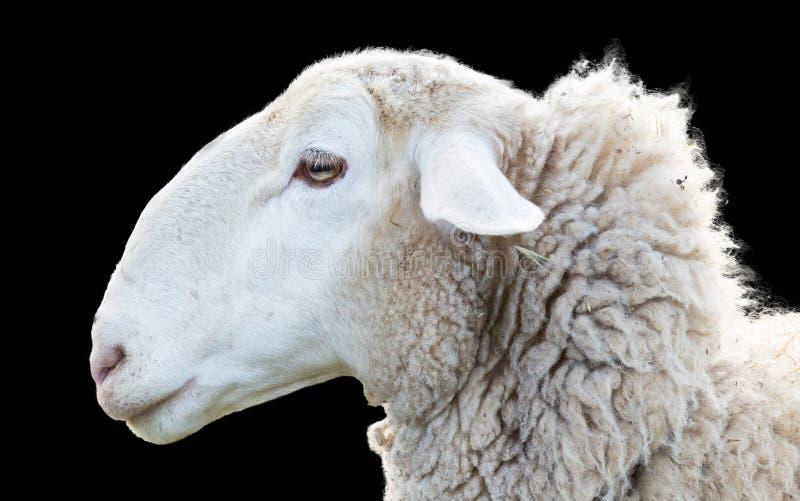 Cabeza de las ovejas foto de archivo