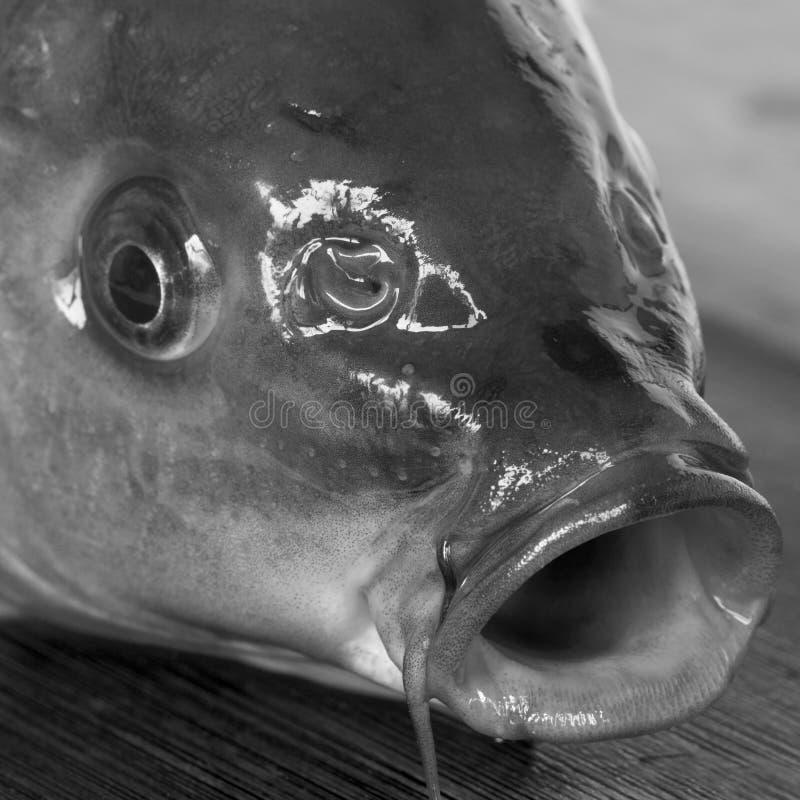 Cabeza de los pescados imagen de archivo libre de regalías