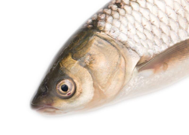 Cabeza de los pescados en un fondo blanco foto de archivo libre de regalías