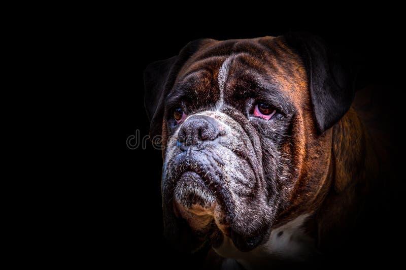 Cabeza de perro alemana aislada del boxeador foto de archivo libre de regalías