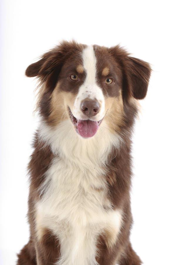 Cabeza de perro australiana de pastor fotografía de archivo