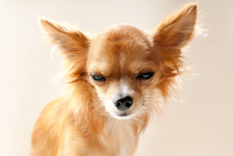 Cabeza de perro de la chihuahua con la expresión contrariedad fotos de archivo libres de regalías