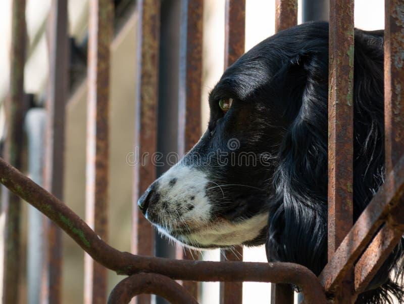 Cabeza de perro linda que se pega hacia fuera de la cerca forjada foto de archivo libre de regalías