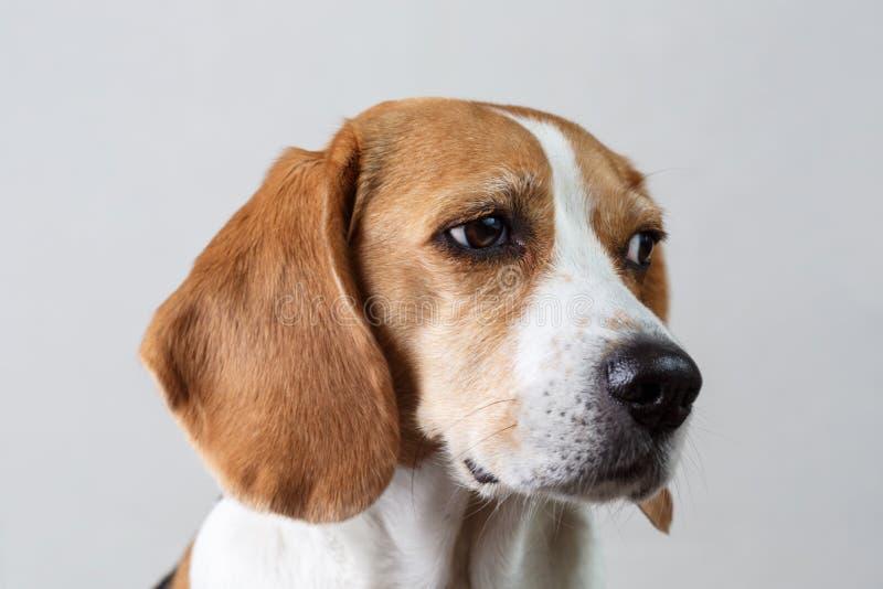 Cabeza del beagle fotos de archivo