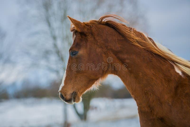 Cabeza del caballo marrón joven hermoso en un día de invierno imagen de archivo