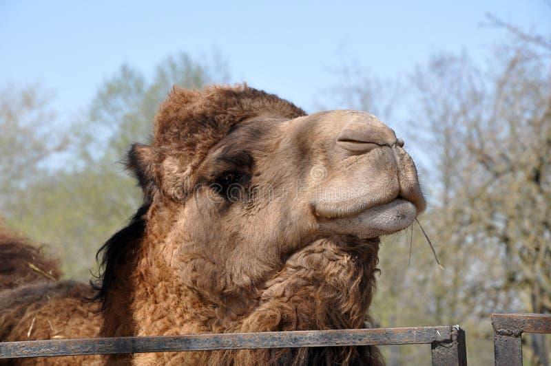 Cabeza del camello bactriano con la paja fotografía de archivo