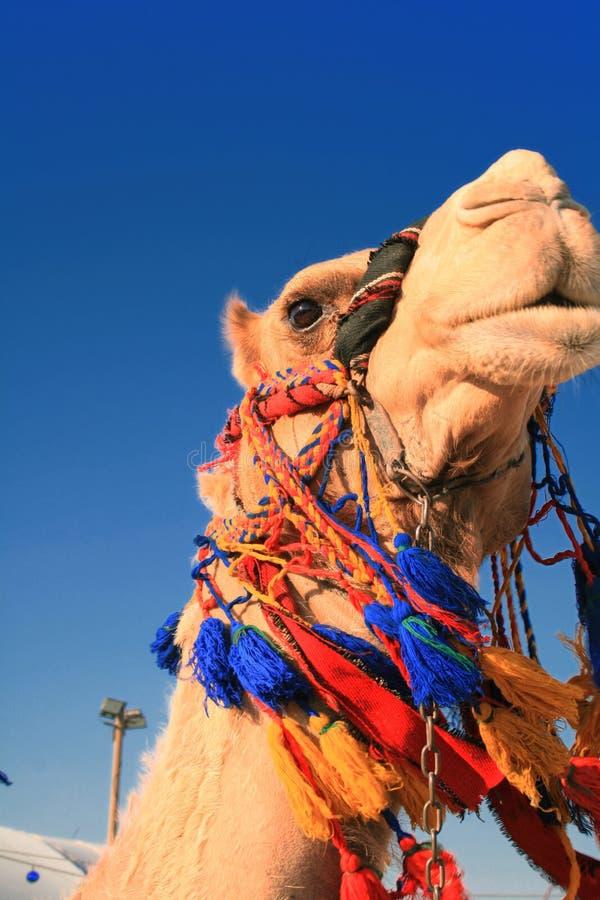 Cabeza del camello en el Oriente Medio imágenes de archivo libres de regalías