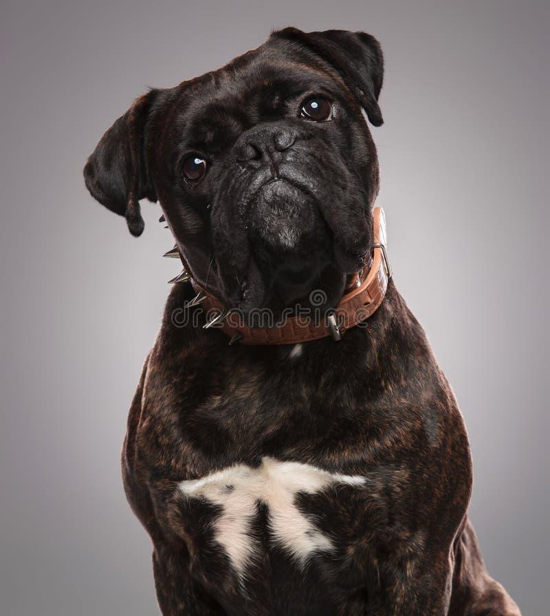Cabeza del dogo negro lindo que lleva un cuello marrón claveteado foto de archivo