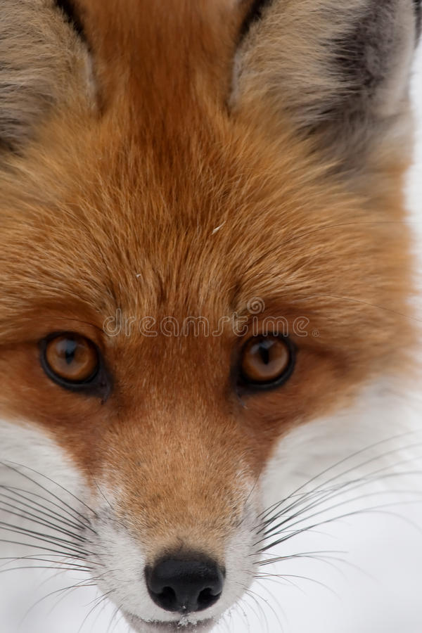 Cabeza del Fox imagen de archivo