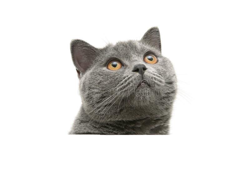 Cabeza del gato gris con los ojos del amarillo aislados en un fondo blanco fotografía de archivo
