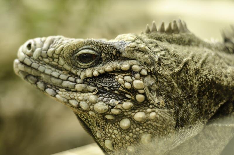 Cabeza del lagarto foto de archivo
