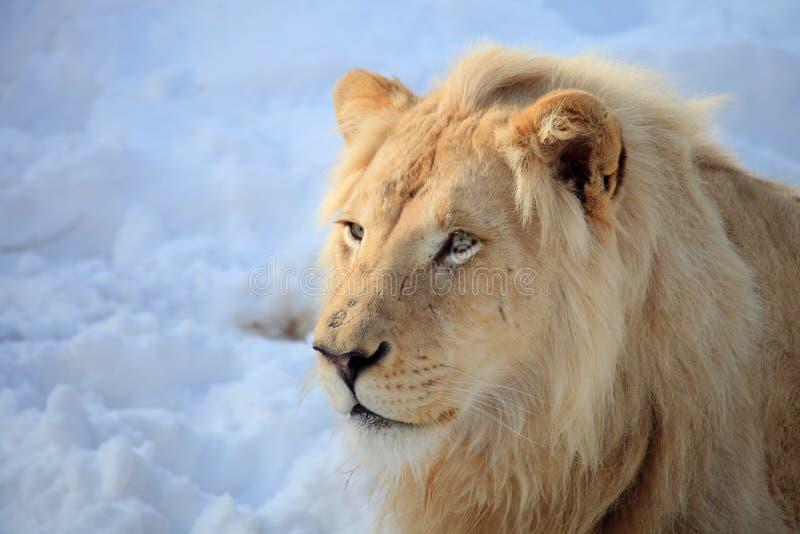 Cabeza del león imagen de archivo libre de regalías