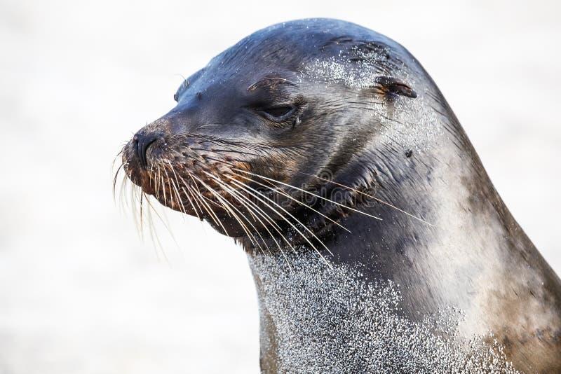 Cabeza del león marino que muestra sus barbas imagen de archivo