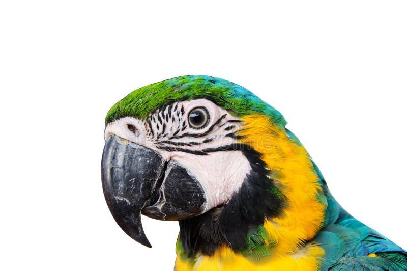 Cabeza del Macaw del loro imagenes de archivo