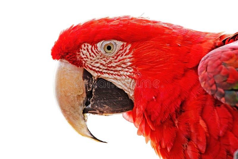 Cabeza del macaw más grande del loro imágenes de archivo libres de regalías