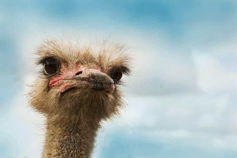 Cabeza del pájaro de la avestruz y retrato delantero del cuello fotos de archivo