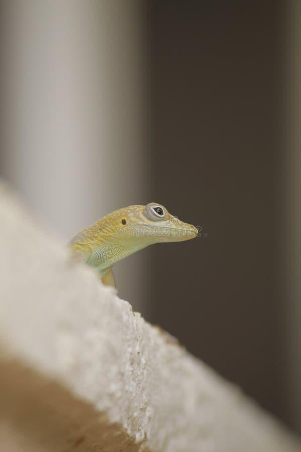 Cabeza del pequeño lagarto fotos de archivo libres de regalías