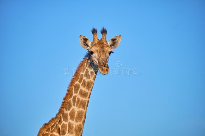 Cabeza del perfil de la jirafa fotos de archivo