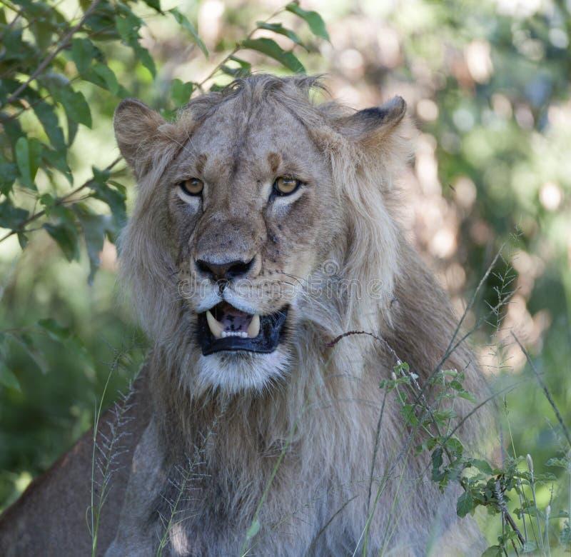 Cabeza del retrato del león que se sienta en hierba verde con el ojo brillante brillante imágenes de archivo libres de regalías