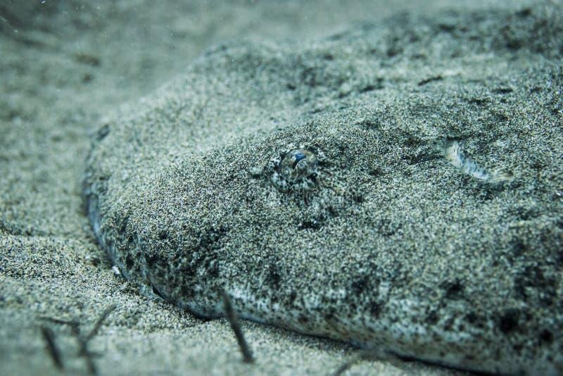 Cabeza del tiburón de ángel foto de archivo libre de regalías