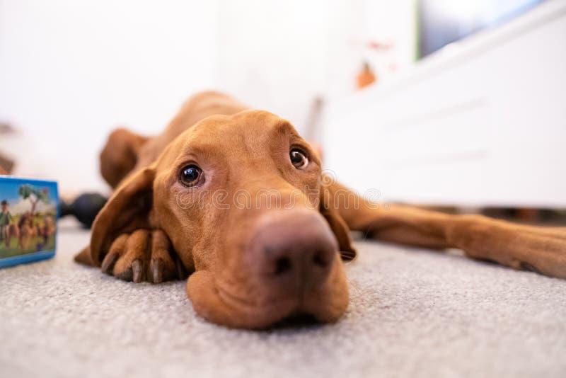 Cabeza divertida del perro húngaro del vizsla en sala de estar imagenes de archivo