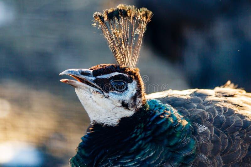 Cabeza hermosa del pavo real con un penacho imagenes de archivo