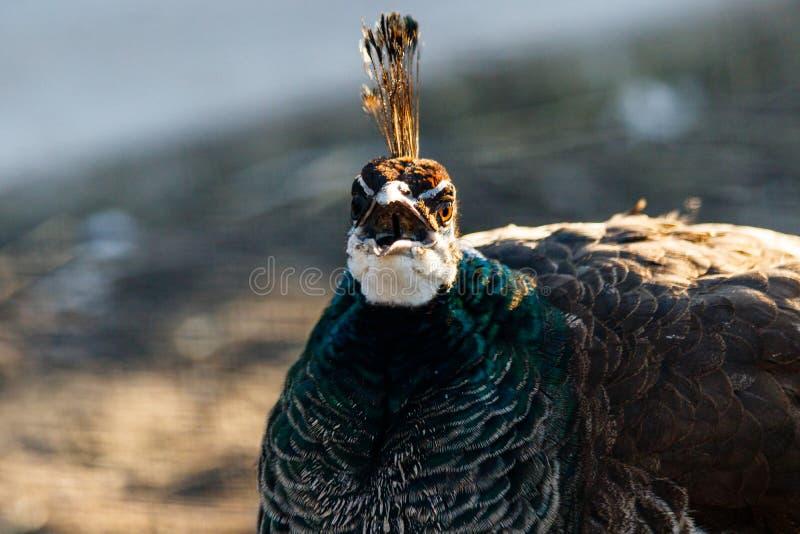Cabeza hermosa del pavo real con un penacho fotos de archivo