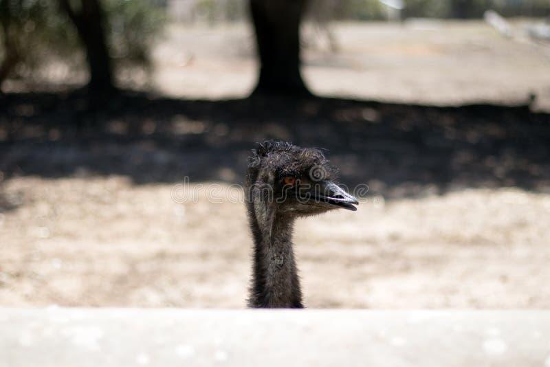 Cabeza joven de la avestruz fotos de archivo