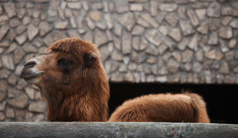 Cabeza linda del camello en un parque zoológico Camello bactriano permanente fotos de archivo