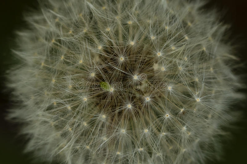 Cabeza macra abstracta de la semilla del diente de león imágenes de archivo libres de regalías