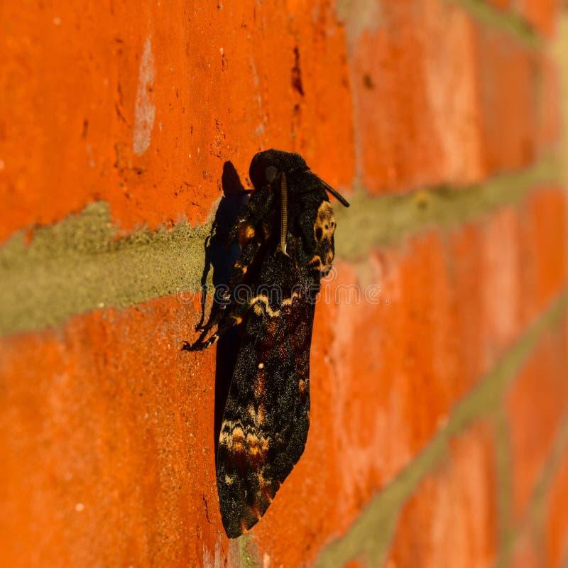 Cabeza muerta La mariposa grande que pertenece a la familia de brazhnik imagenes de archivo