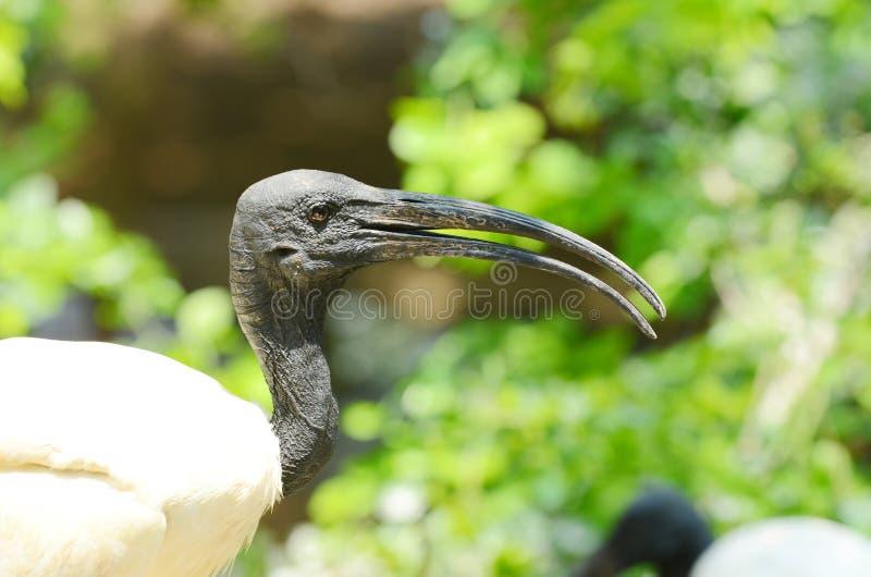 Cabeza negra Ibis fotos de archivo