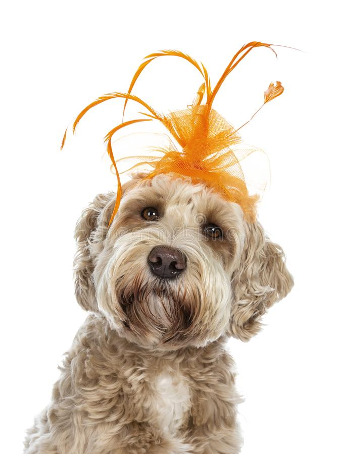 Cabeza tirada del perro de oro adulto joven de Labradoodle, aislado en un fondo blanco imagen de archivo
