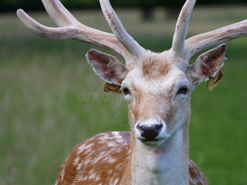 Cabeza y cara del macho del dama juvenil de los ciervos en barbecho/del Dama que se colocan de mirada adelante foto de archivo