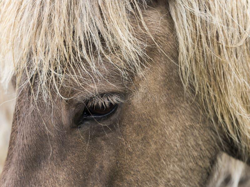 Cabeza y ojo del caballo islandés fotografía de archivo libre de regalías