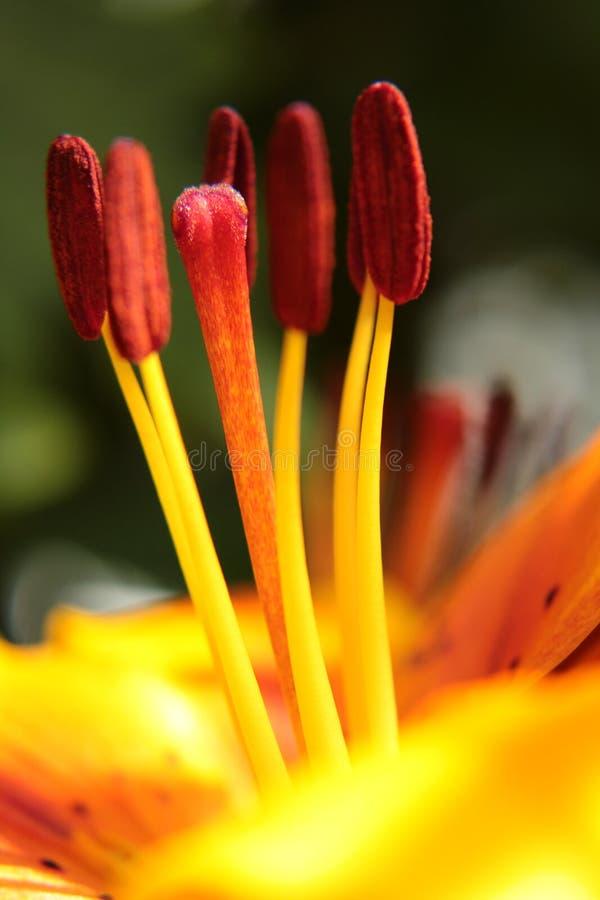 Cabezas amarillas y anaranjadas macras de la semilla de flor del lirio fotografía de archivo libre de regalías