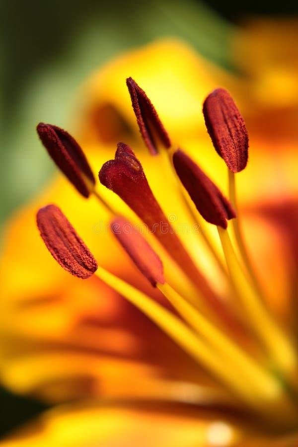 Cabezas amarillas y anaranjadas macras de la semilla de flor del lirio foto de archivo