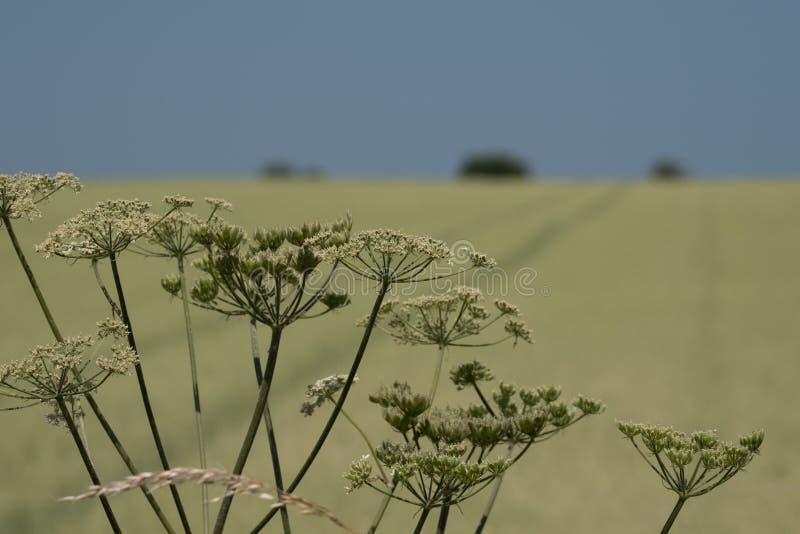 Cabezas de flor del parsey de la vaca en el primero plano Campo del trigo en el fondo, con los árboles en el horizonte y un cielo imágenes de archivo libres de regalías