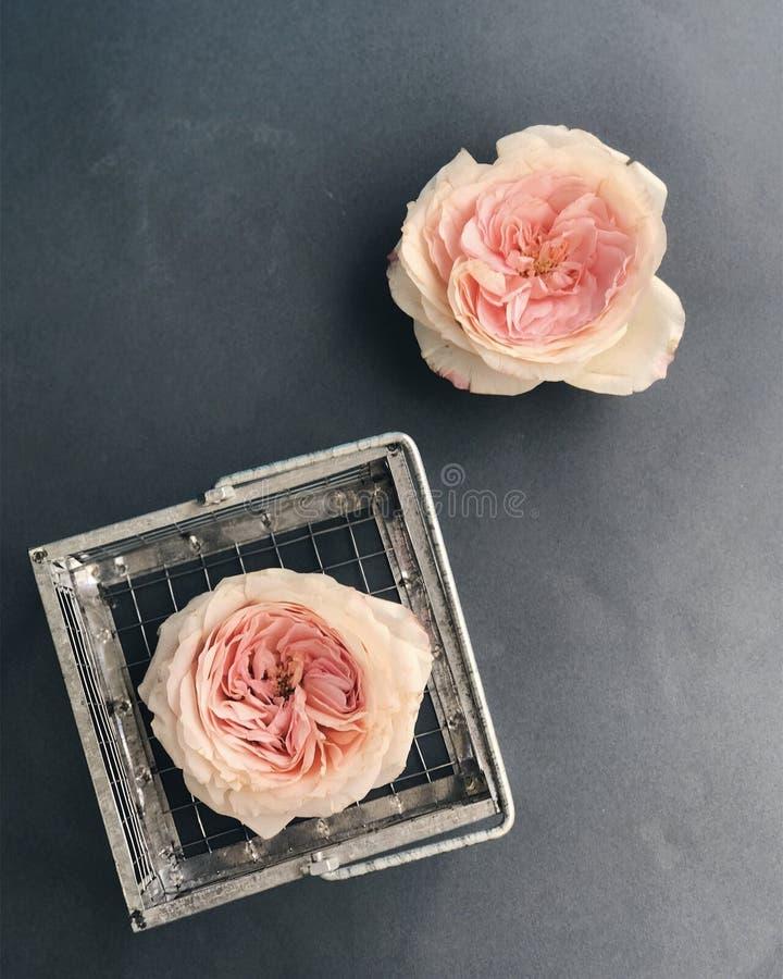 Cabezas de la rosa del rosa fotos de archivo