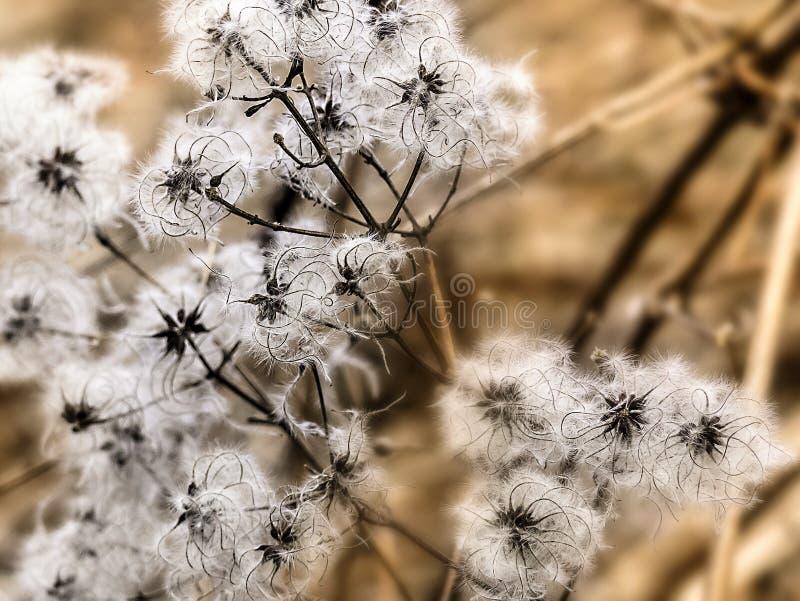 Cabezas de la semilla del perejil de vaca foto de archivo libre de regalías
