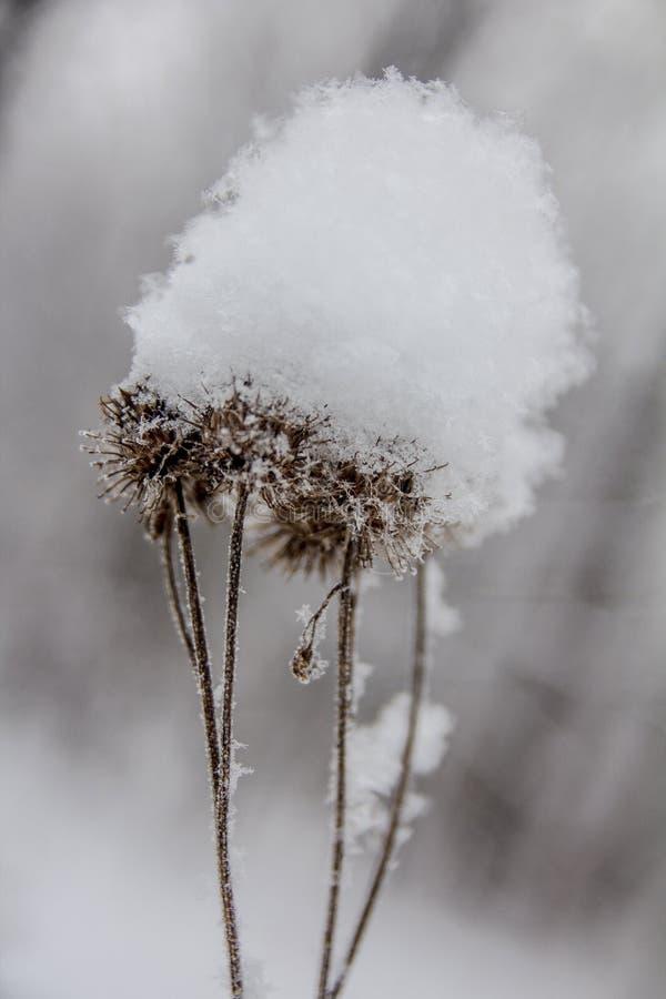 Cabezas del cardo cubiertas con nieve imagen de archivo