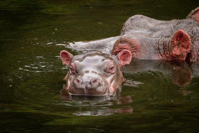 Cabezas del hipopótamo y del becerro en agua fotografía de archivo