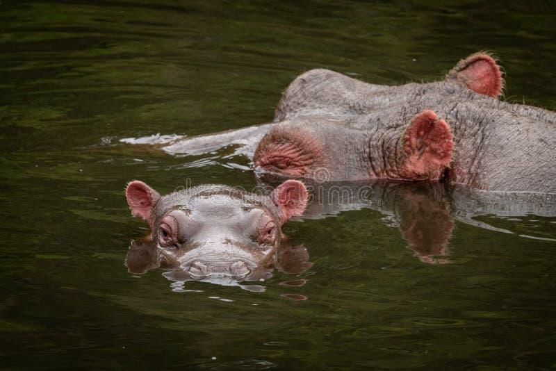 Cabezas del hipopótamo y del becerro en el río fotos de archivo
