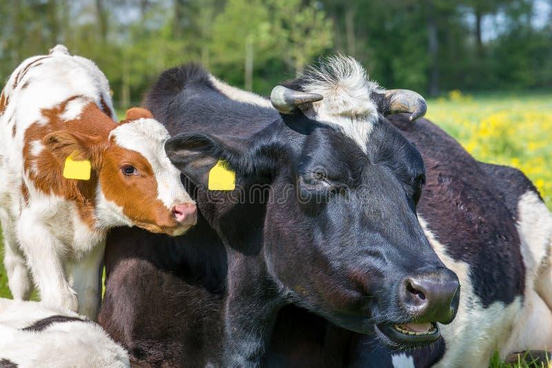 Cabezas del retrato de la vaca de la madre con el becerro recién nacido fotos de archivo