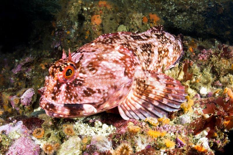 Cabezon fisk royaltyfria foton