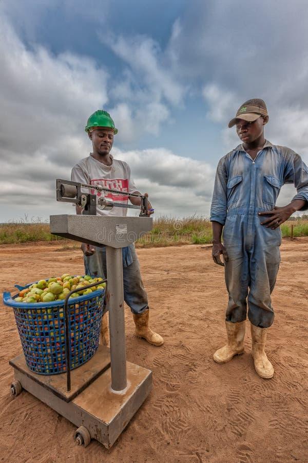 CABINDA/ANGOLA - 9 Ιουνίου 2010 - αφρικανικοί αγρότες που ζυγίζουν τις ντομάτες στοκ εικόνες με δικαίωμα ελεύθερης χρήσης