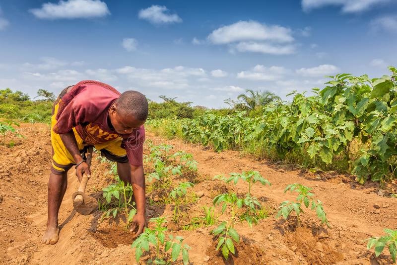 CABINDA/ANGOLA - 2010年6月09日-耕地的农村农夫在卡宾达市 安哥拉,非洲 库存照片