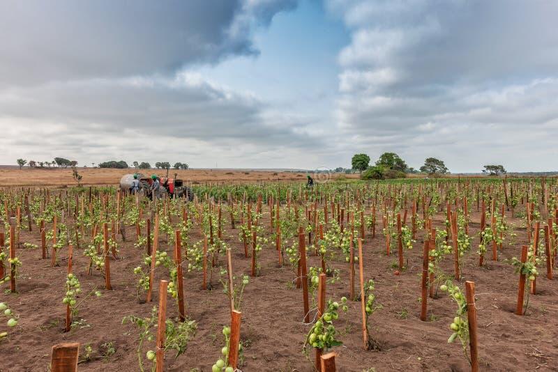 CABINDA/ANGOLA - 9 de junho de 2010 - plantação dos tomates ainda esverdeiam em África, em trator e em fazendeiros no fundo Áfric imagem de stock royalty free